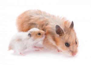 Bra att veta om hamster Göteborgs Djurklinik