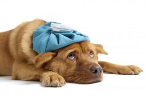 Eftervård, så tar du hand om ditt djur efter ett ingrepp.